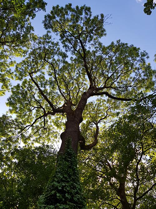 Frêne vu de dessous - Motte castrale de Toutencourt - Photo de Jonathan Lenoir