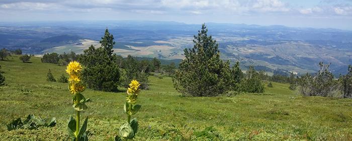 La gentiane jaune risque l'extinction locale à cause d'une redistribution géographique due au réchauffement climatique